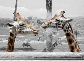 Giraffes by 64883