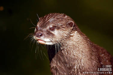 Otter by carpetmankent