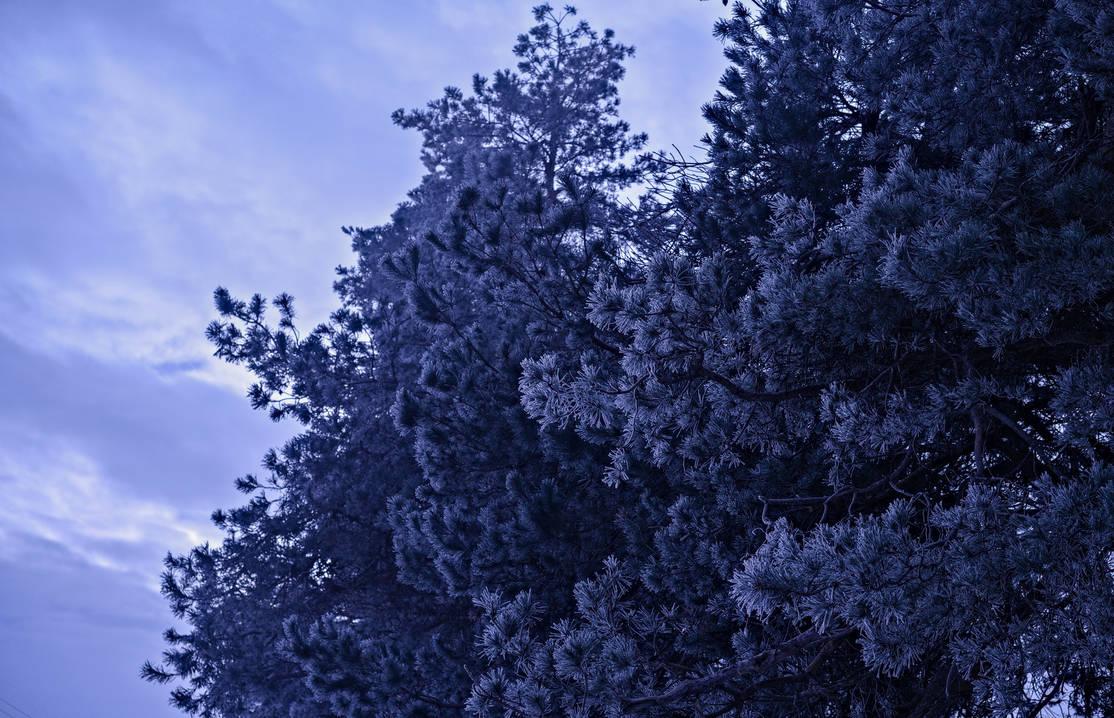 Frost Pine by EnacheArmand