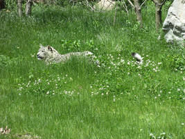 Binder Park - Snow Leopard 2 by Nexus-Schwarz