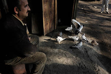 pigeons by magzed