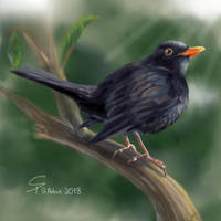 Amsel - Blackbird by steffchep