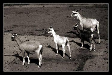 Reservoir Goats by paullomax
