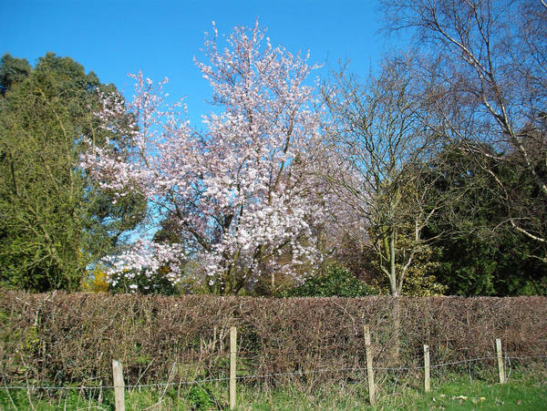 Cherry Blossom Sakura By Rebexa Okami On Deviantart