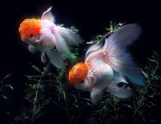 Glodfish II by zhuzhu