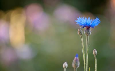 cornflower by DonaldPipowitch