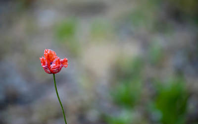 poppy by DonaldPipowitch