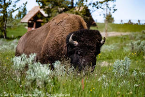 Bison by rjakobson