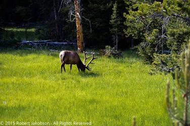 Elk by rjakobson