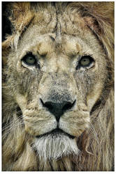 African lion by photoflacky