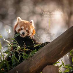 Red Panda. by OliviaMichalski