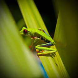 Costa Rica - Gaudy Leaf Frog by lux69aeterna