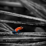 Costa Rica - Blue Jeans Dart Frog by lux69aeterna