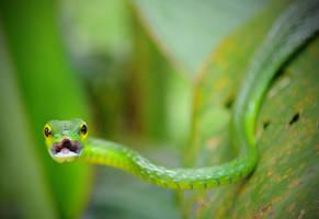 Costa Rica - Green Vine Snake by lux69aeterna