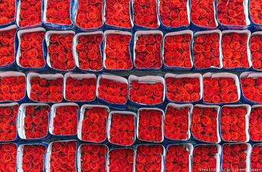 Ecuador   Roses by lux69aeterna