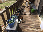 Seedlings  by ncfwhitetigress