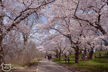 High Park - Take a walk down Sakura lane by diav