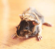 Newborn guinea pig by aoao2
