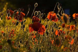Poppies by Bruinen