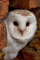 Barn Owl by mansaards