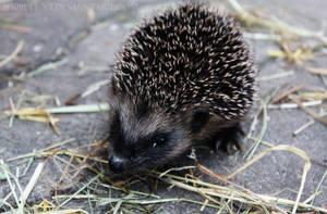 Hedgehog I by yokuns