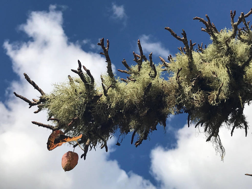 Lichen on pear branch by markdow