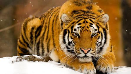 winter tiger by butterflymedic45