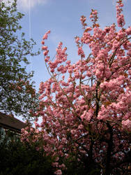 Blossom 1-Stock by tempestazure-Stock
