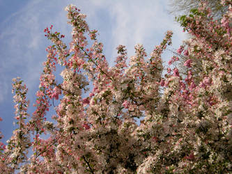 Blossoms 3-Stock by tempestazure-Stock