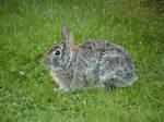 Wild Rabbit by ariastrife