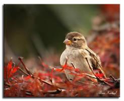 Sparrow in Red by AlinaKurbiel