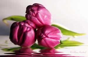Spring Tulips by AlinaKurbiel