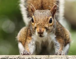 Gray Squirrel by AlinaKurbiel
