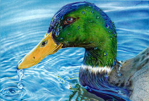 Mallard Duck - Ballpoint Pen by VianaArts