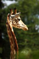 Girafe by EliseJ-Photographie