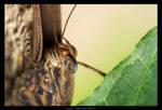 Lepidopteran Portraiture I by Undercover-Superhero