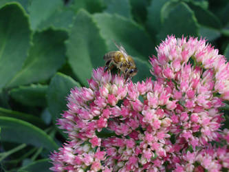 Bee In The Flowers Benq C1450 by pazio141