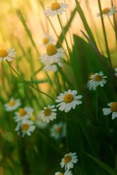 .:daisy's garden:. by neslihans