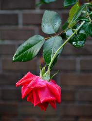 Lonely Rose II by jennalynnrichards