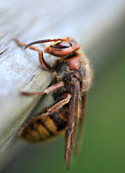 European Hornet by jennalynnrichards