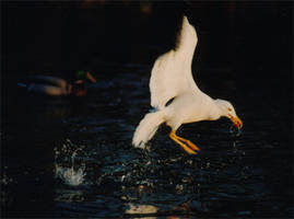 Seagull in flight by wingfinger