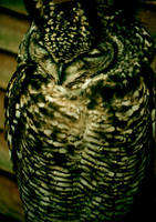 Sleeping Owl by wingfinger