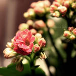 Blossom by dark3y3s