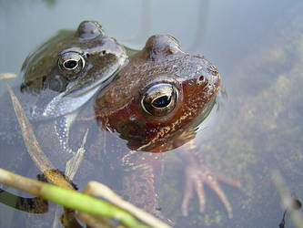Frogs by cody29