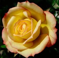 rose favourites 1 by Dieffi