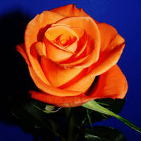 A birthday-rose for Edie by Dieffi