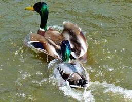 duck race by Dieffi