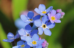 forget me not by Dieffi