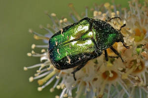 the green beetle by Dieffi
