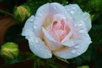A FLOWER FOR MONIQUE by Dieffi